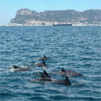 Dolphins in Gibraltar Bay